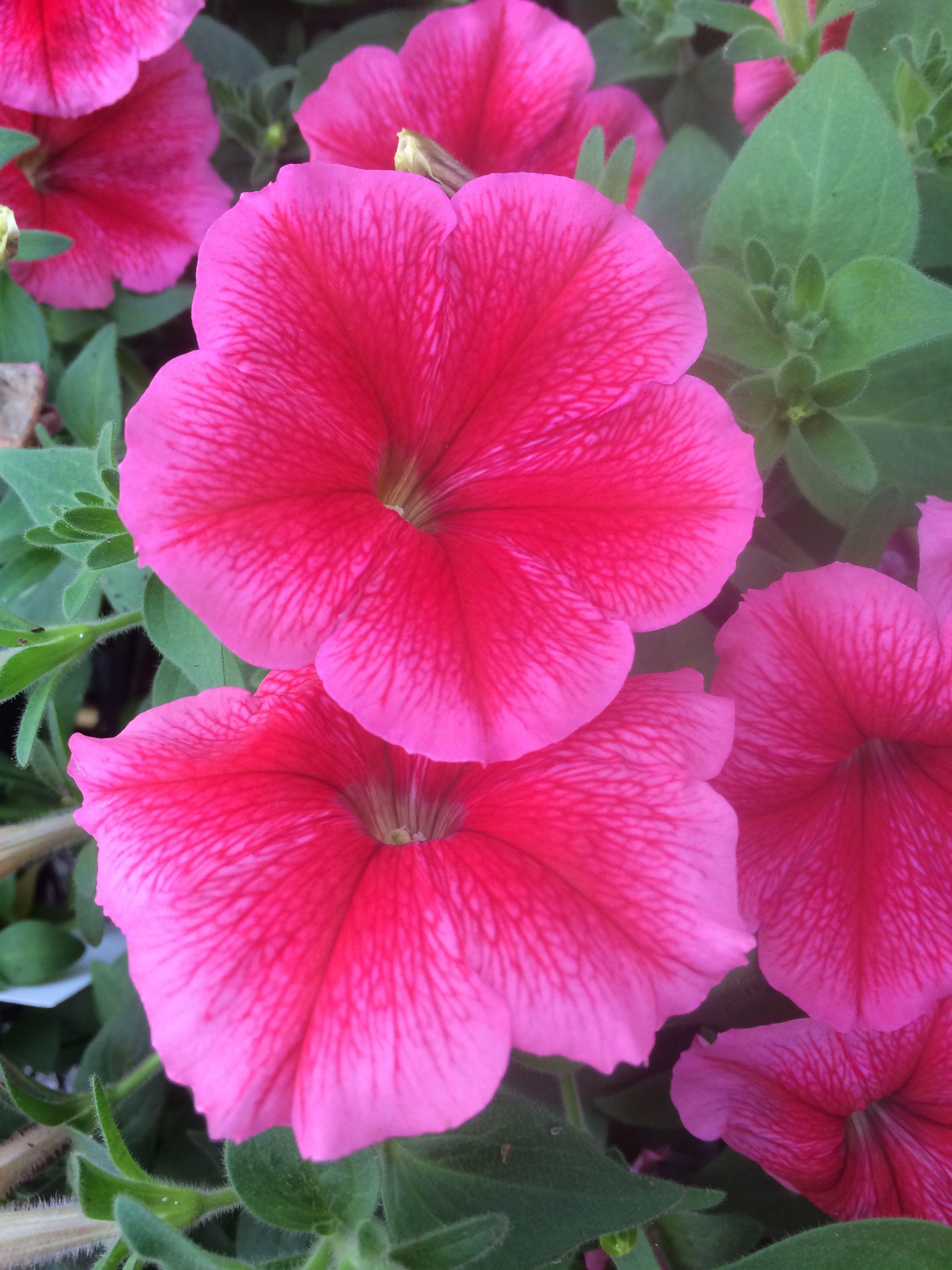 Summer Madness Petunia Petunias Flowers Flower Garden