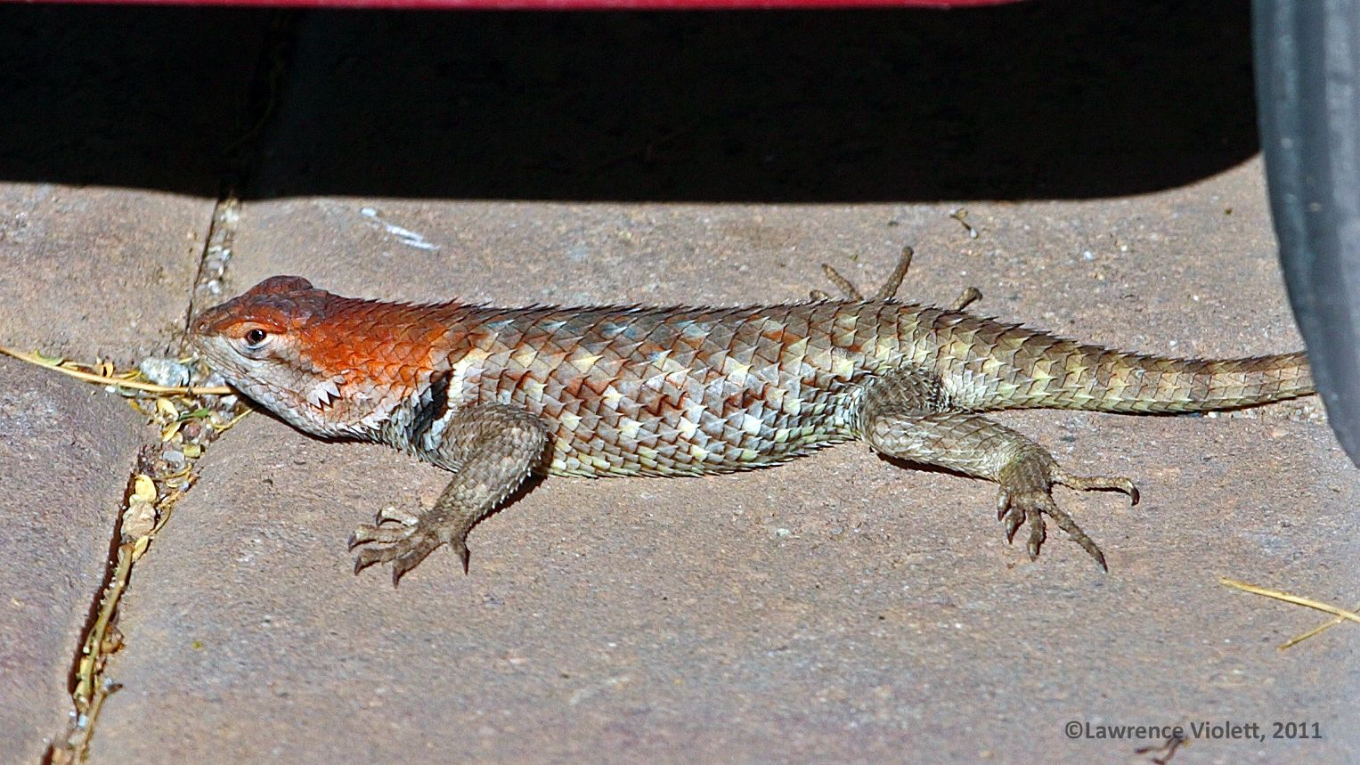 A female Desert Spiny lizard in mating colors. | 両生類, 爬虫類 ...