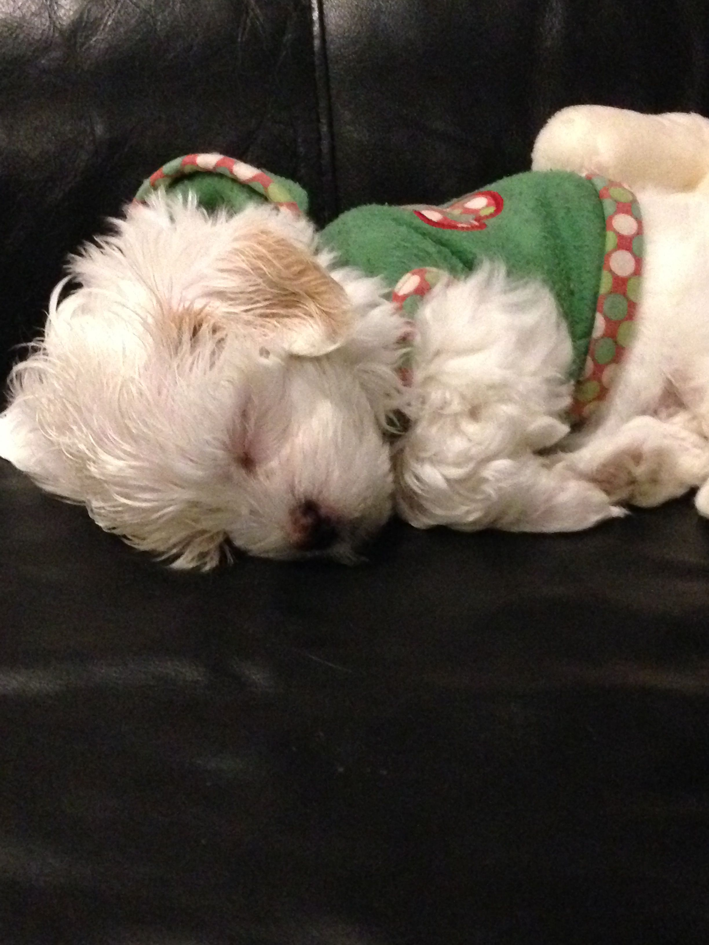 Maltese Puppy Called Sammy Maltese Dogs Maltese Puppies