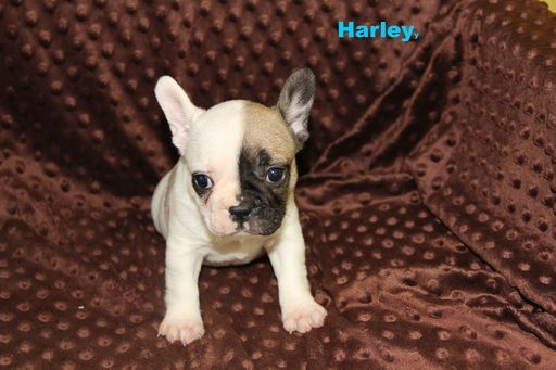 Litter Of 4 French Bulldog Puppies For Sale In Mountain Home Ar