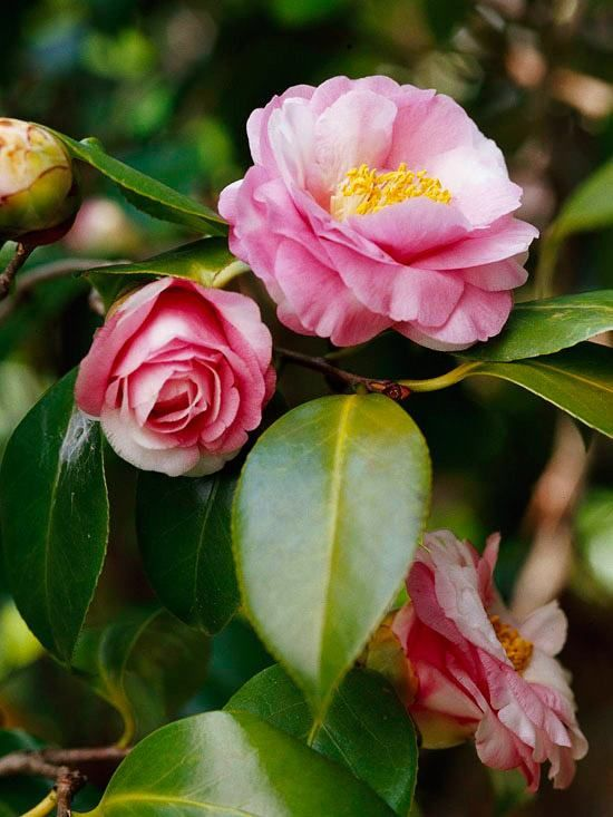 10 Delicados Arbustos Florales Para Embellecer Tu Jardín Arbustos En Flor Flores Bonitas Arbustos De Hoja Perenne