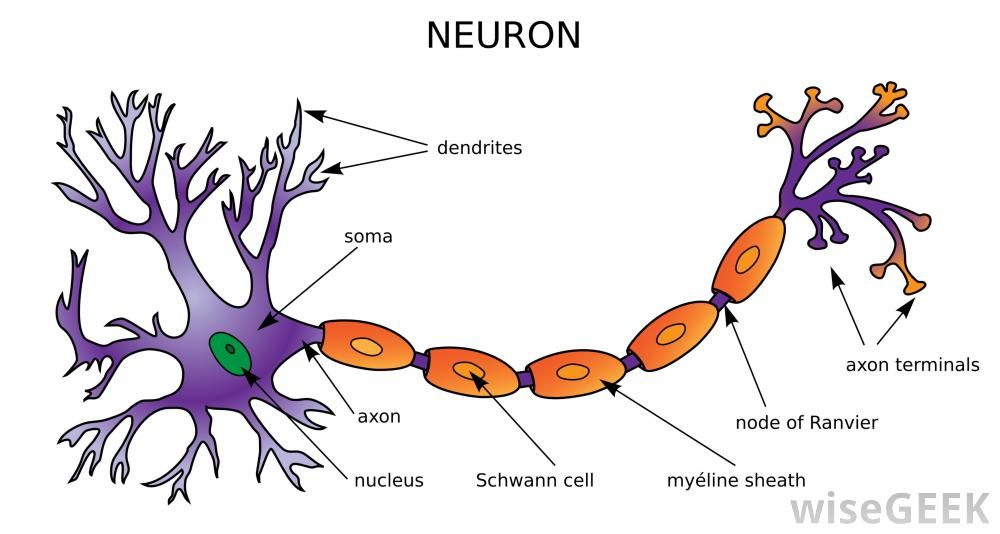 There Are Several Different Types Of Neural Cell Which Can Be