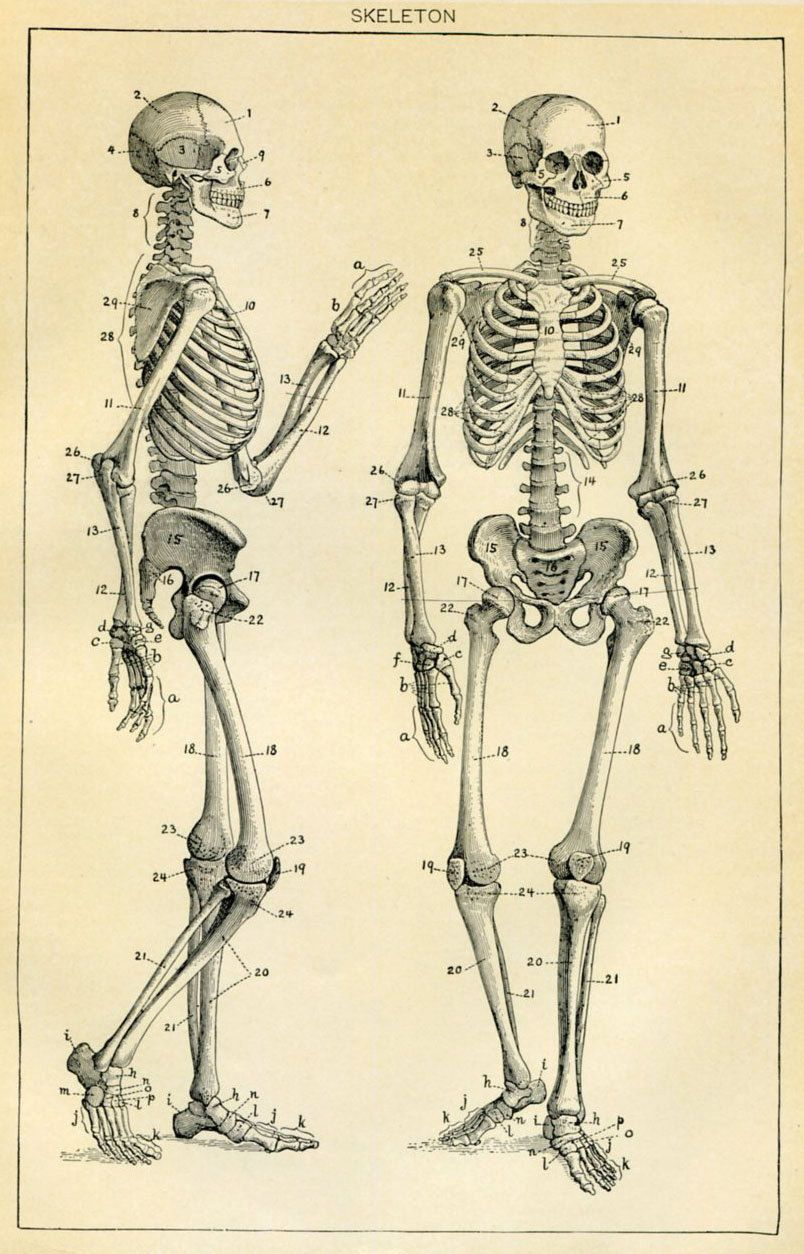 Skeleton Antique Book Plate - Medical Ephemera - Human Anatomy ...