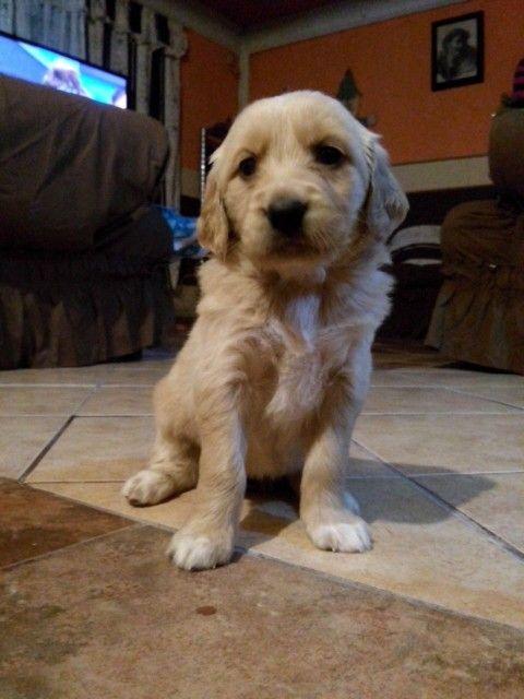 #GoldenRetriever #Puppies