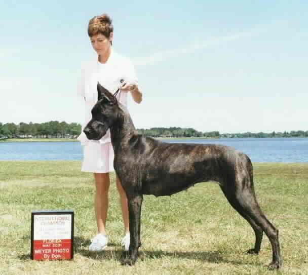 Onyx Brindle Great Dane Deliberately Crossing The Colour