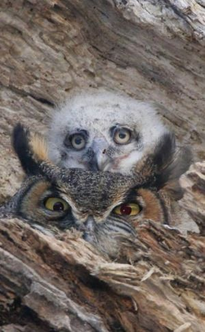 Great horned Owls -