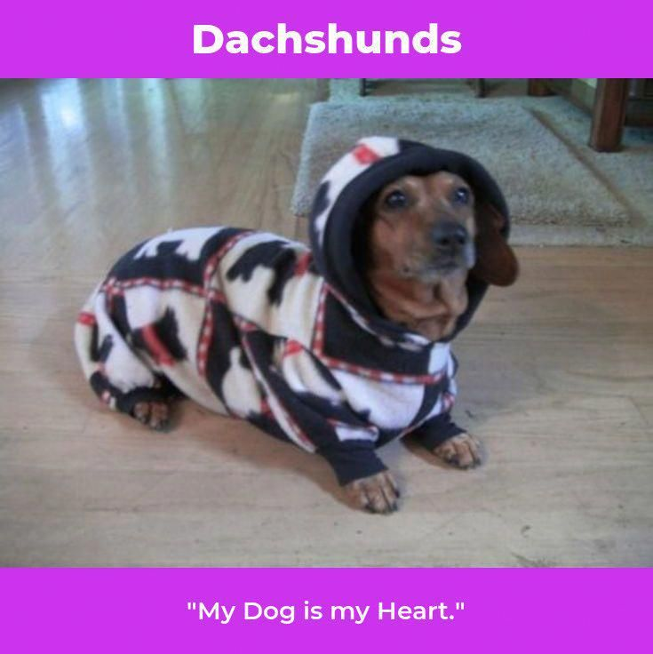 Dachshund Puppy Daschund Dachshund Dachshund Love Dachshund Dog