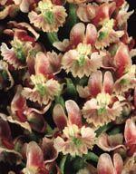 Ceratandra venosa
