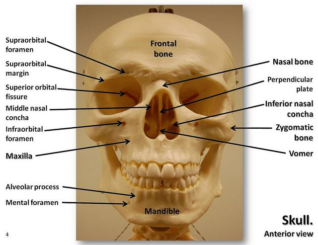 Skull, anterior view with labels | A&P | Pinterest