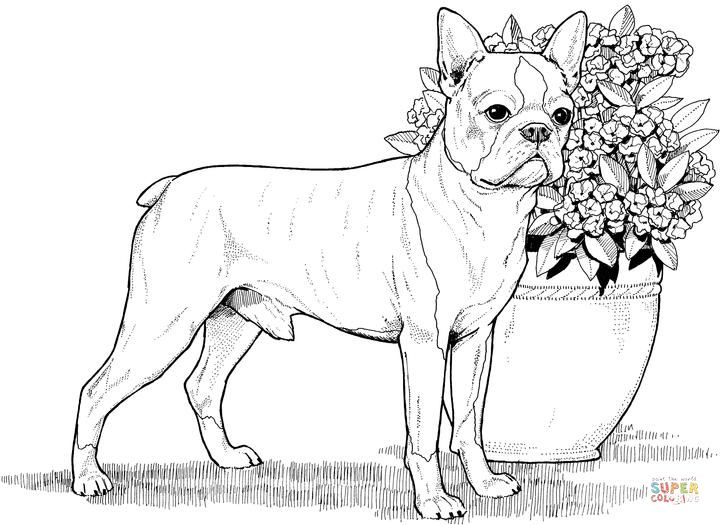 Boston Terrier Dog Coloring Page Dog Coloring Book Puppy Coloring Pages