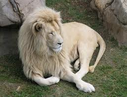 white lion, cool :o