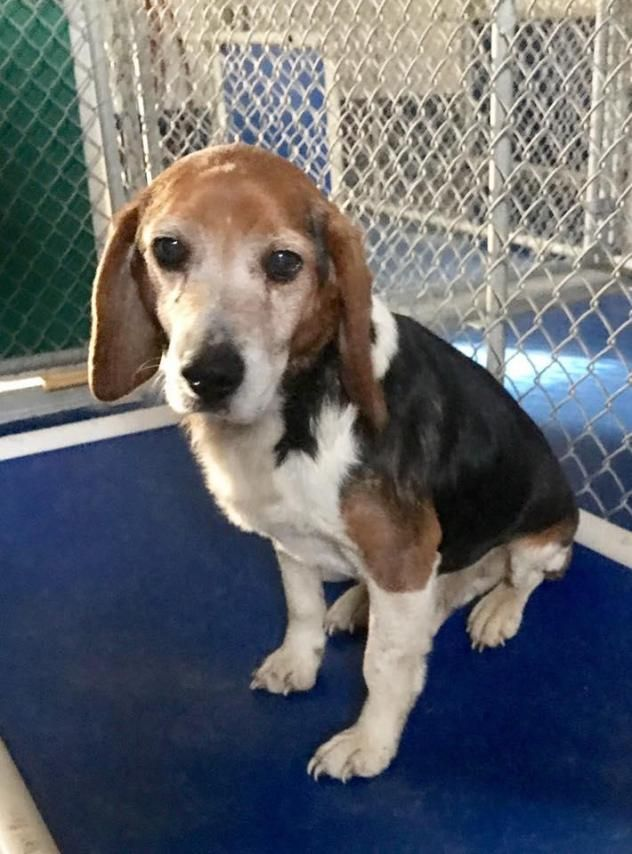 Adopt Eckles Ln Beagle On Beagle Beagle Dog Animal Control