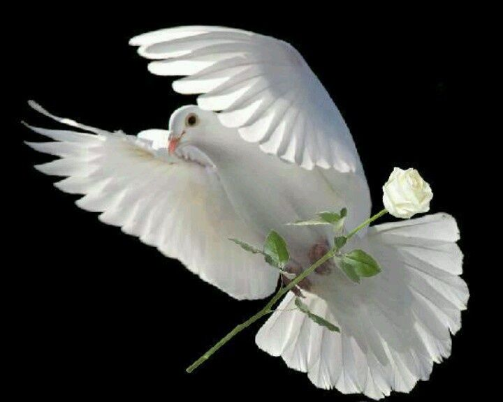 white dove and a white rose perfect white doves of peace p the french rose. Black Bedroom Furniture Sets. Home Design Ideas
