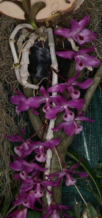 Orchid: Dendrobium parishii