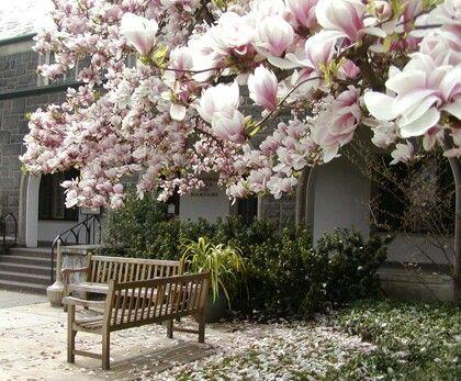 Magnólia: arvoreta que aprecia o clima ameno, sol pleno e solo fértil. Sua floração é intensa no inverno quando não apresenta folhas.