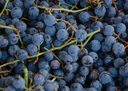 Concord Grapes Storing And Freezing Grapes Food Fresh Food