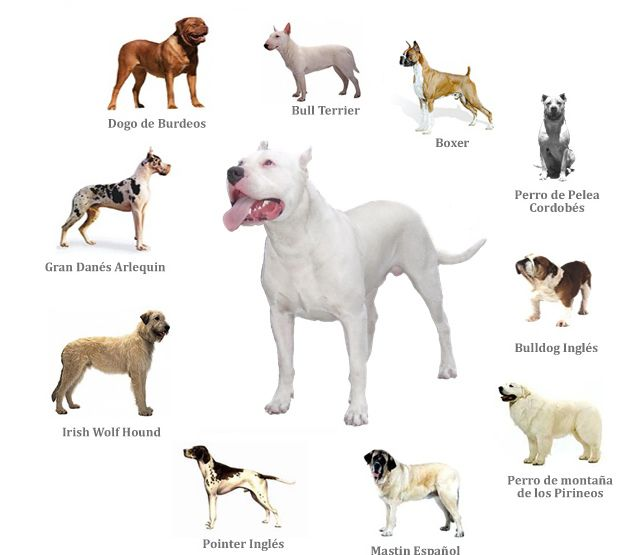 Antonio Martinez Picked The Cordoba Fighting Dog To Be The Base For The Breed This Breed Is Extinct Today But It Was Said T Dog Breeds Dogs Bully Breeds Dogs