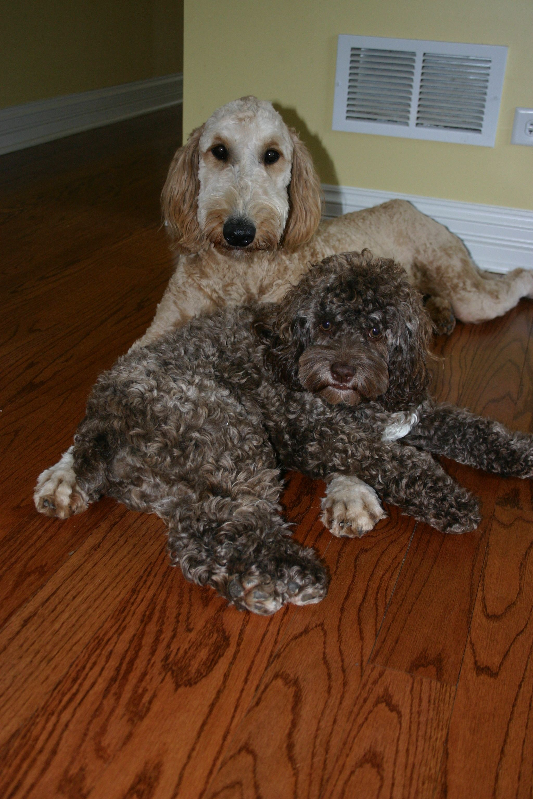 Cockapoo and goldendoodle friends yorkshire terrier