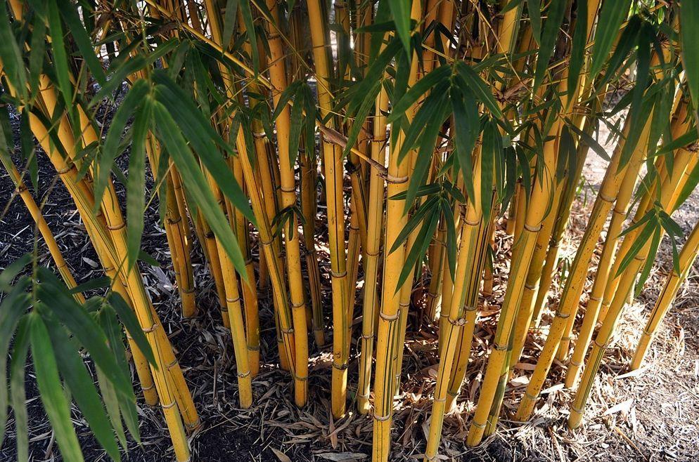 Asian Lemon Bamboo Rate My Ass