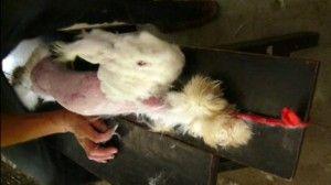Unspeakable Terror Inside Angora Rabbit Fur Industry Angora