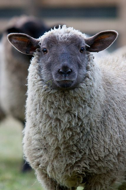 ♥ Burlap and Hay ~ Rosie the lamb ♥