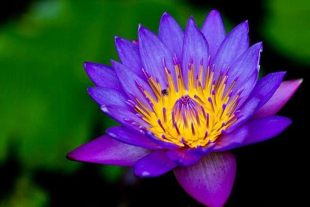 Nil Manel The National Flower Of Sri Lanka Amazing Flowers Sri Lanka Trip
