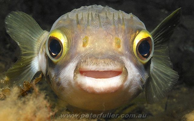 Nature And More Cute Fish Puffer Fish Therapy Animals