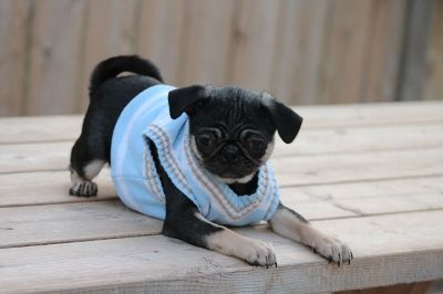 Fairytailpuppies Where Pets Are Family Too Black Tan Pug Pug Puppies For Sale Pugs Pug Puppy