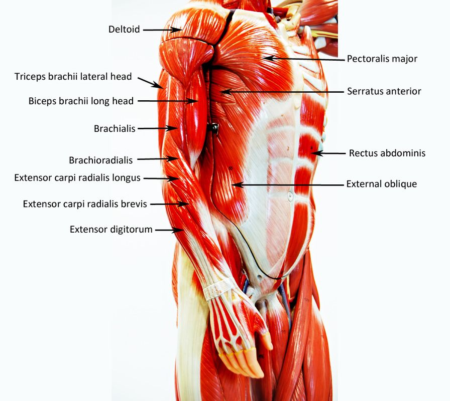HUMAN ANATOMY WEB SITE   Work out   Pinterest
