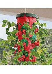 www.shop.com/dvmiller  Bargain Catalog Outlet  3% CASH BACK   Upside Down Strawberry Planter   $19.99 Outlet Price: $6.99 65% Off