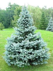 Baby Blue Spruce Picea Pungens Glauca Babies Blue Slow Growing Height 12 15 Width 6 7 Zone 3 Availabl Colorado Blue Spruce Picea Pungens Blue Spruce