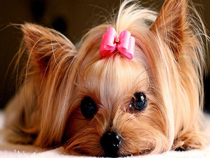 4 Dog Puppy Yorkshire Terrier Greeting Notecards/ Envelopes Set. $6.99, via Etsy.