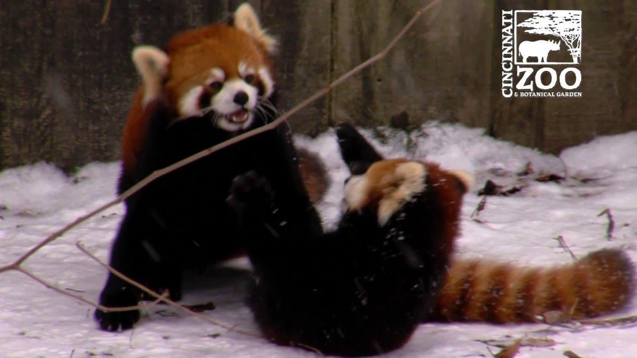 Red Panda Cubs Experiencing Snow For The First Time Https Www Youtube Com Watch V Bqtr5gl Lh4 Red Panda Cincinnati Zoo Panda