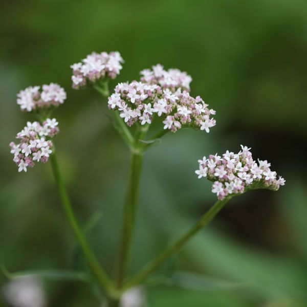 Valeriana officinalis.  Full sun or light shade.  Flowers June to August.  Eventual Height: 1.5m