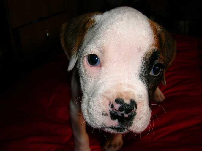 Races de chiens: Boxer - Frawsy