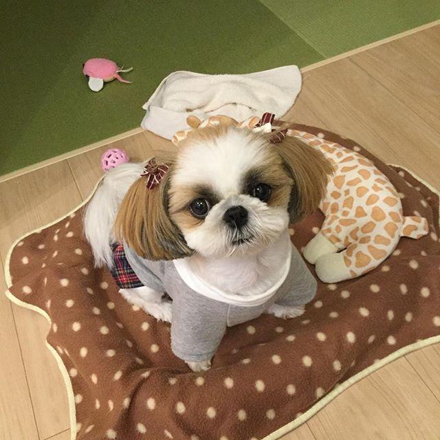 おてんてんで遊んでるとこに、ポーズするよ〜って近付いたら、おてんてんを放り投げてにっこりポーズ📸 ・ いくらご褒美目当てだからって、変わり身早いね😅 ・ #おてんてんとはタオルのこと #犬 #dog #シーズー #shitzu