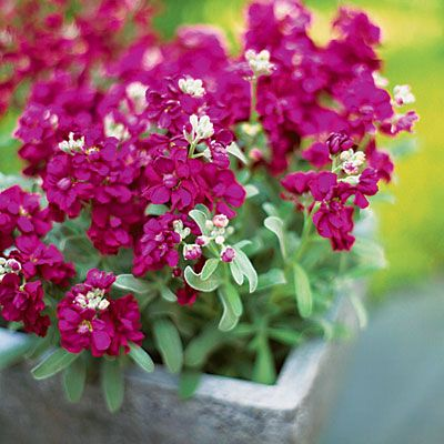 17 best plants for cool season color favorite plants and flowers stock this is a pretty winter flower for our garden mightylinksfo