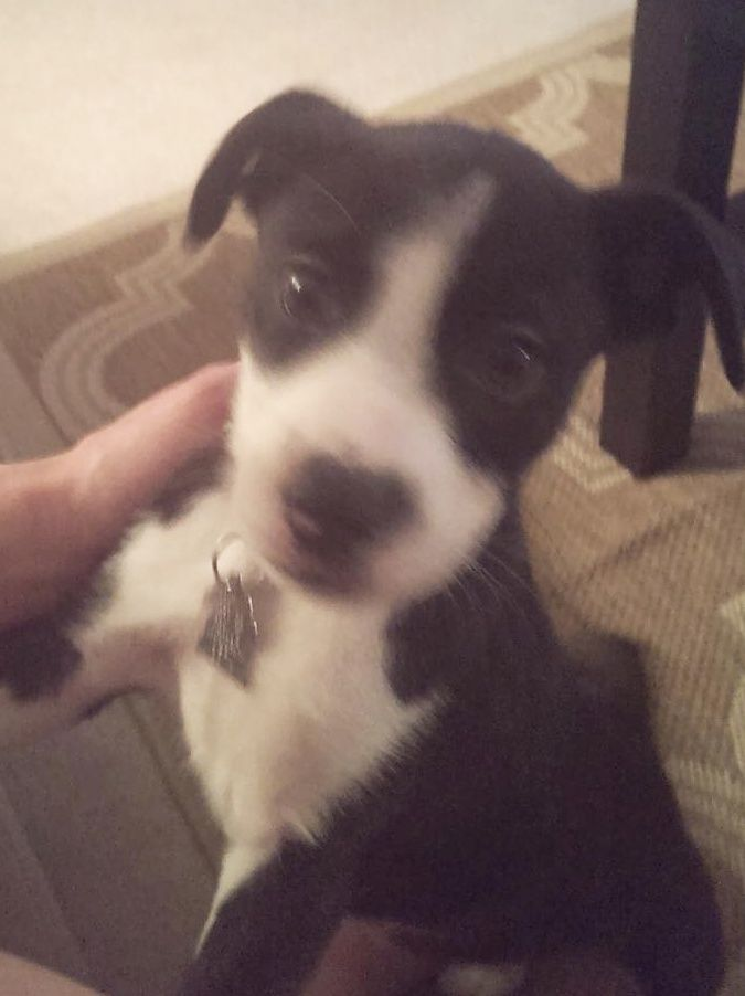 Aidan Nicholas Is A Sweet Playful Bostonterrier Puppy Available