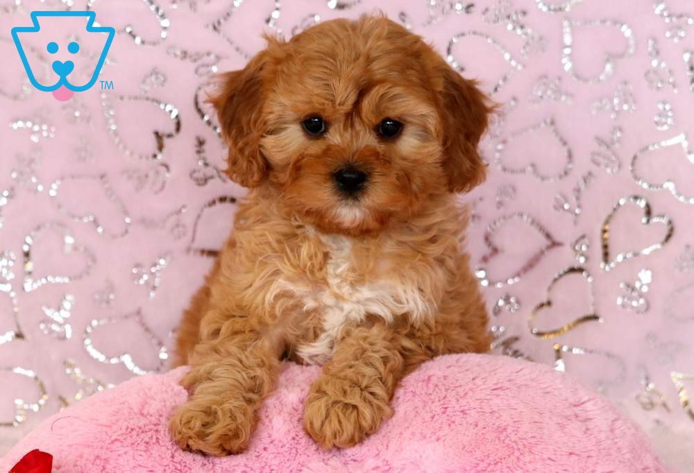 Charity Cavapoo Puppy For Sale Keystone Puppies In 2020 Cavapoo Puppies For Sale Cavapoo Puppies Puppies For Sale