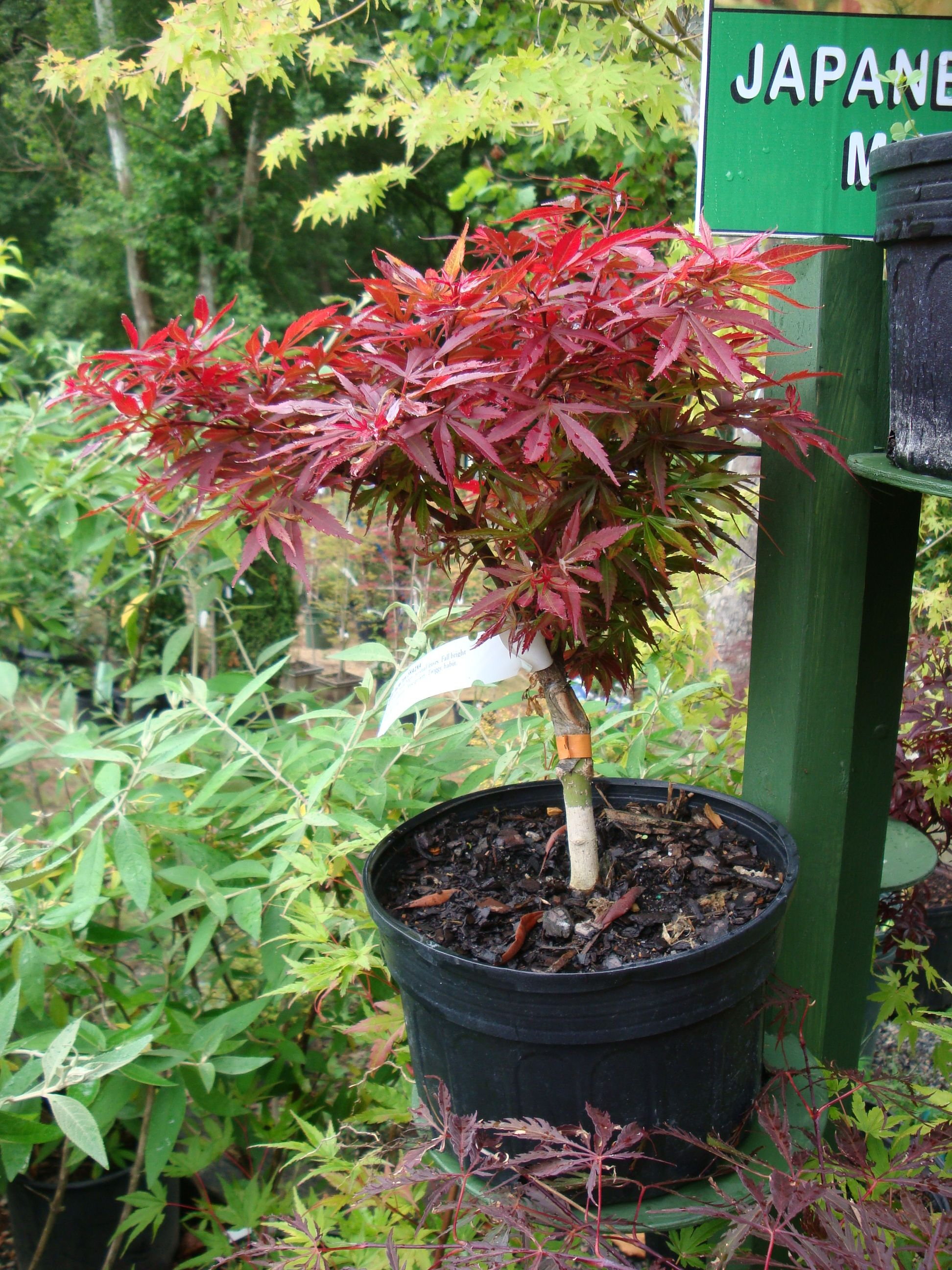 Weeping japanese maple trees for sale japanese maples for Maple trees for sale