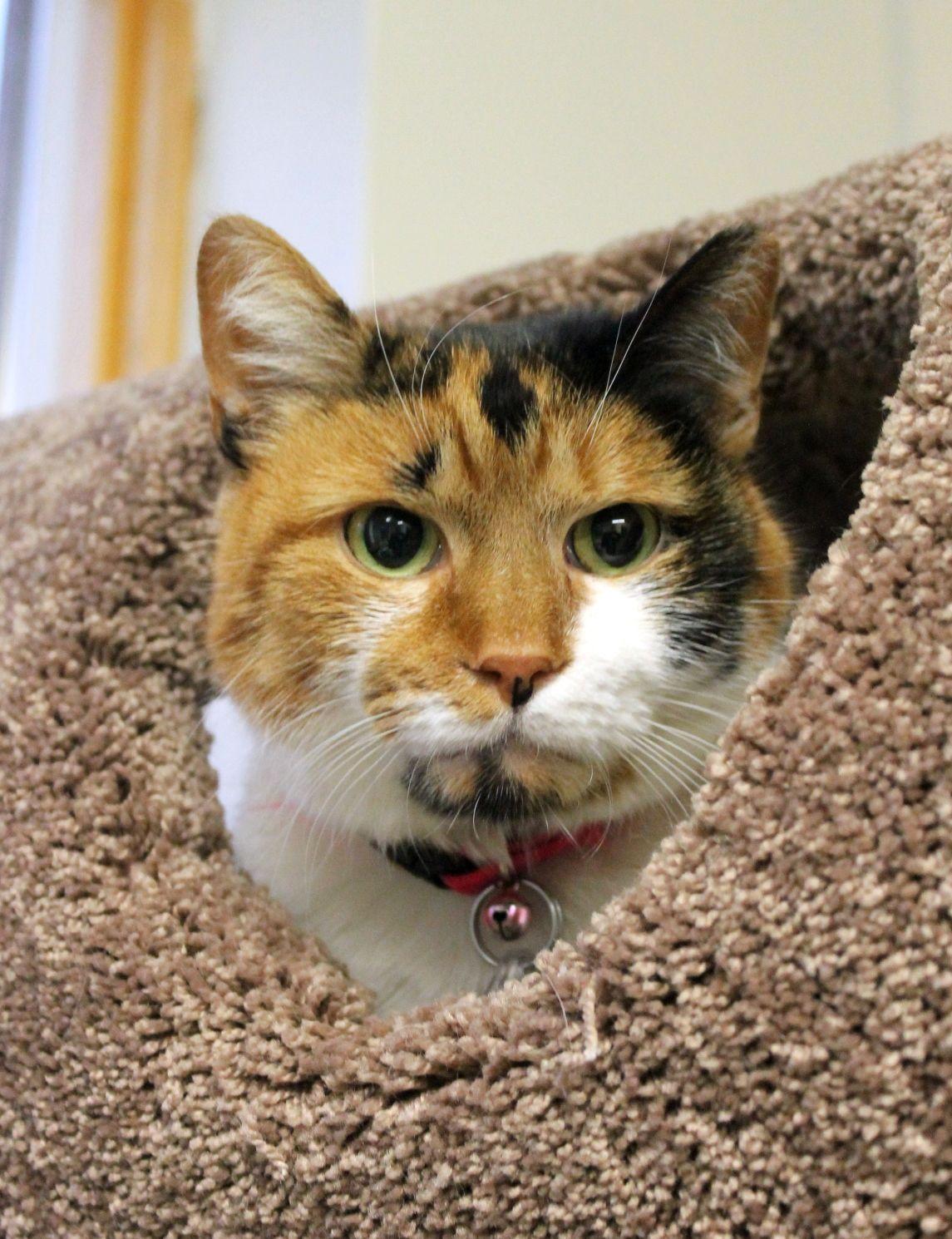 I Found Kitty On Petfinder Calico Cat Kitty Animals