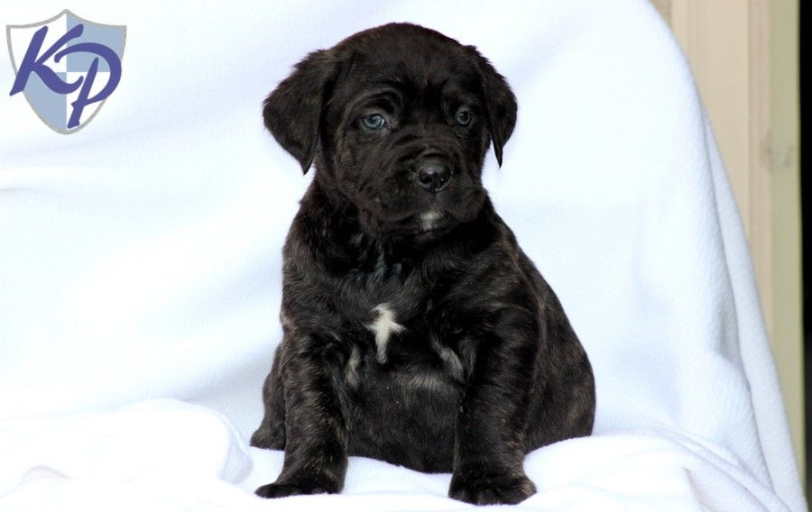 Puppy Finder Find Buy A Dog Today By Using Our Petfinder Puppy Finder Cane Corso Puppies Buy A Dog