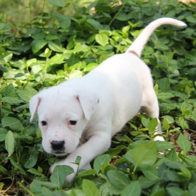 Adopt Eva on Boxer dogs, Beautiful puppy, Shepherd mix dog