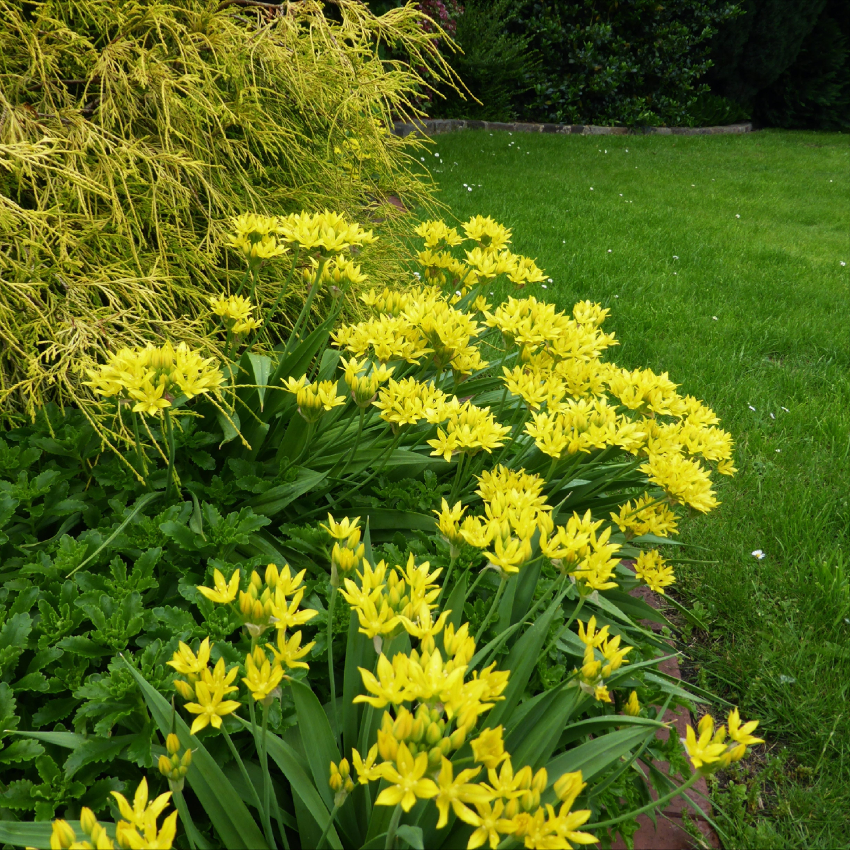 Goldlauch Verwandter Des Barlauchs Barlauch Zierpflanzen Pflanzen