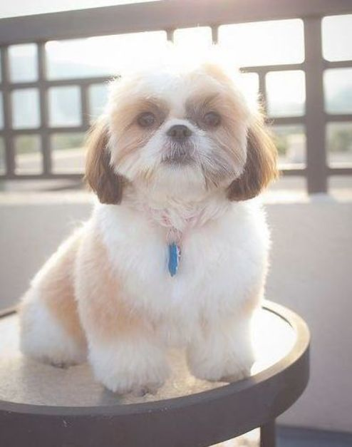 Get Healthy And Ethically Bred Shih Tzu Puppies For Sale Shih Tzu Dogs For Adoption In India Buy Kci Regis Shih Tzu Haircuts Shih Tzu Puppy Shih Tzu Grooming