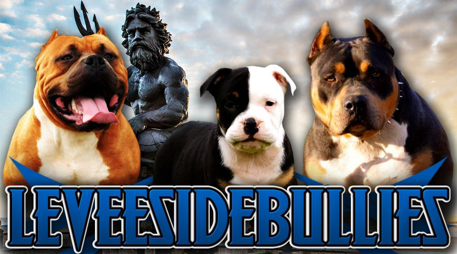 If You Looking For Qualified Bully Bred Bullies For Sale Look No
