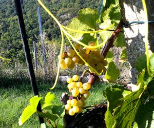 Der Wein hat den Hitzesommer 2015 gut überstanden. - http://www.dieweinpresse.at/der-wein-hat-den-hitzesommer-2015-gut-ueberstanden/