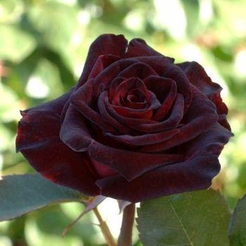 Rosier Black Baccara® (Meidebenne) : Pot de 2L