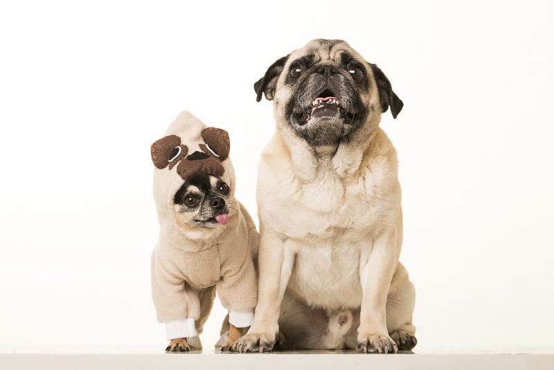 Spotlight Boogie The Pug And Marcelo The Chihuahua Pugs Pets