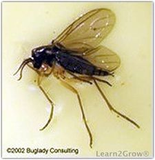 All About Fungus Gnats: Gardening | Organic insect spray ...